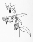 borage-drawing