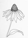 echinacea-drawing