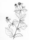 marjoram-drawing